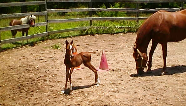 Comet was smaller than our miniature horse when she was born.